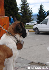 San Bernardo dog in civic center