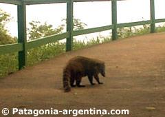Coatí en las pasarelas de Cataratas del Iguazú