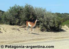 Guanaco en la ruta a Tombo