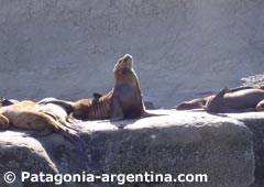 Sea Lion in Punta Pirámide