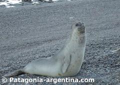 Elephant Seal at Caleta Valdés