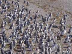 Punta Tombo penguin colony