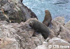 Seals of Cabo Blanco