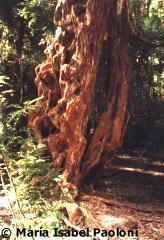 Arrayanes wood