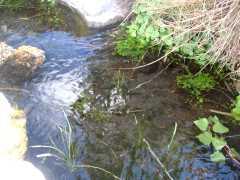 Nacientes del arroyo Valcheta, donde vive la mojarrita desnuda.