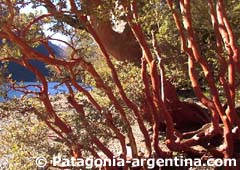 Arrayanes Wood - Patagonia-Argentina