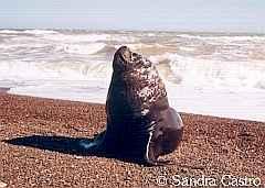 Lobo marino de un pelo