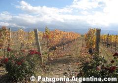 Vineyards in Bodega Salentein - Valle de Uco - Mendoza