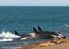 Orcas capturando un lobito en la orilla