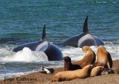 Orca aproximándose a su presa