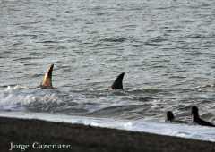 Orca en pleno salto