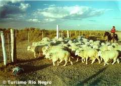 Llegada de las ovejas