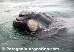 Right Southern Whale