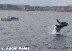 Whale watching at Valdés Peninsula