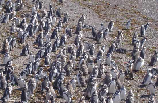 Caminhando com pingüins