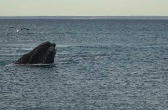 Puerto Madryn, penguins and whales paradise