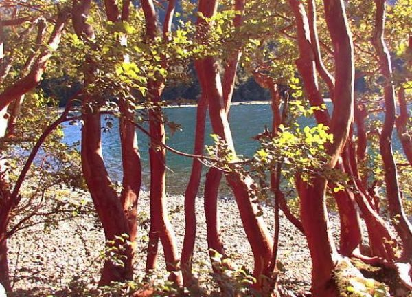 Bosque de Arrayanes - Patagonia Argentina