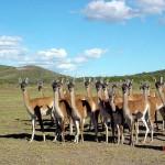 Guanacos en Patagonia