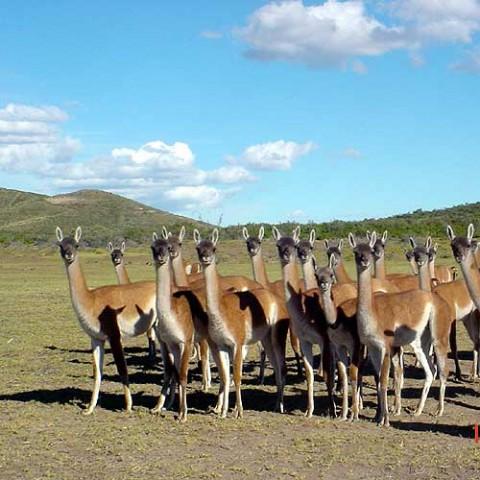 La cría de guanacos: un proyecto productivo patagónico | PATAGONIA ...
