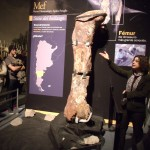 Femur of the world's largest dinosaur in the MEF