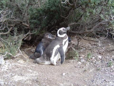 Familia de pingüinos en su nido - Punta Tombo - Patagonia Argentina