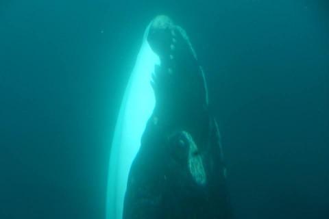Avistaje Submarino de Ballenas en Puerto Madryn - Patagonia Argentina
