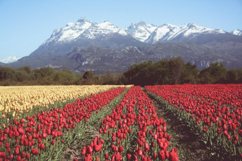 Fields of flowers in Trevelin - Photo: Secretaría de Turismo de Esquel