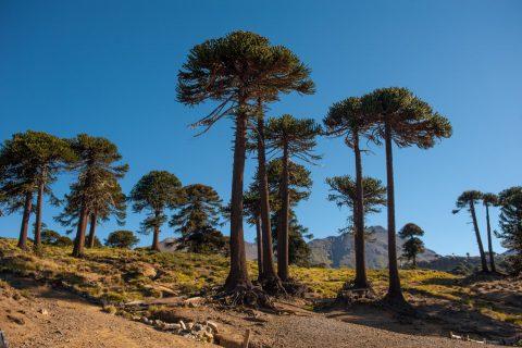 Araucarias - Foto: neuquentur.gob.ar