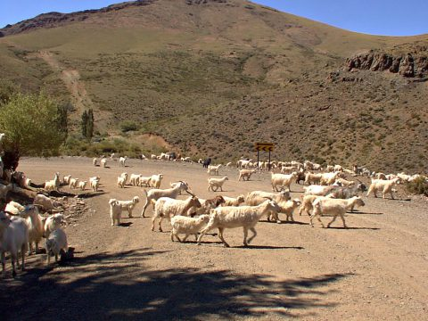 En las afueras de Andacollo. Chivos hacia la veranada - Patagonia Argentina
