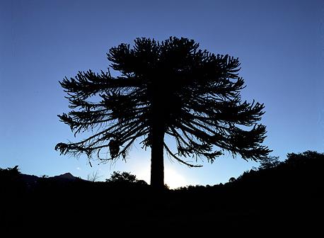 Pehuén - Foto: www.neuquentur.gob.ar