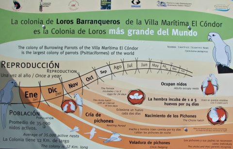 Infografía sobre la colonia de loros en El Cóndor - Patagonia-argentina.com