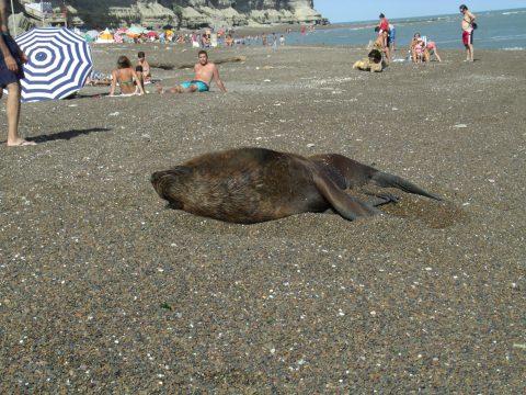Lobo marino descansando en la playa - Patagonia-argentina.com