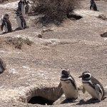 Punta Tombo – Pingüinos de Magallanes